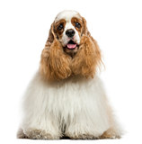 Front view of an American Cocker Spaniel, panting, sitting, isol