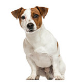 Front view of a Jack Russell Terrier, sitting, isolated on white