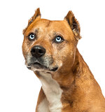 Close-up of an American Staffordshire Terrier, looking up, isola