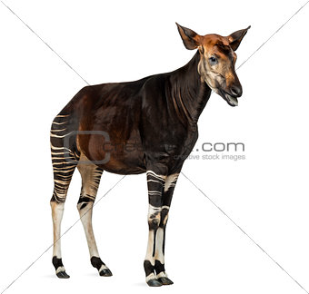 Okapi standing, mooing, Okapia johnstoni, isolated on white