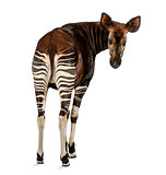 Rear view of an Okapi, looking back at the camera, Okapia johnst