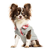 Dressed-up Chihuahua sitting, looking at the camera, isolated on