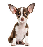 Front view of a Chihuahua, sitting, 4 months old, isolated on wh