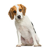Front view of a Beagle puppy, sitting, looking at the camera, 2