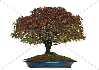Acer palmatum Kiyohime bonsai tree, isolated on white