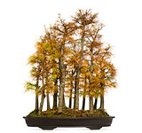 Golden larch bonsai tree, Pseudolarix amabilis, isolated on whit
