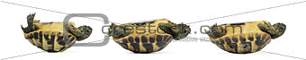 Side view of three baby Hermann's tortoise lying on their back,