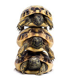 Front view of three baby Hermann's tortoise piled up, Testudo he