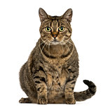European shorthair sitting, looking at the camera, isolated on w