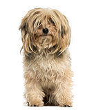 Front view of a Yorkshire terrier sitting, isolated on white