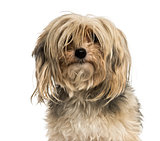 Close-up of a messy Yorkshire terrier, isolated on white