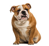 English Bulldog showing teeth, sitting, 1 year old, isolated on