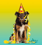 Close-up of a Border collie with party hat and streamers, sittin