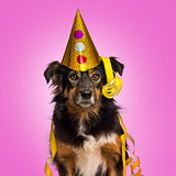 Close-up of a Border collie with party hat and streamers facing,
