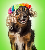 Close-up of a Border collie wearing a blond curly wig with flowe