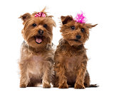 Two Yorkshire Terrier wearing bows, panting, sitting, isolated o