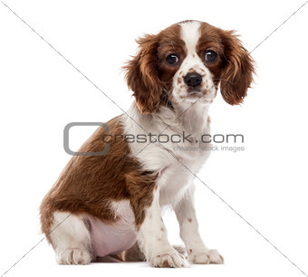 Cavalier King Charles Spaniel puppy sitting, looking at the came