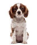 Front view of a Cavalier King Charles Spaniel puppy sitting, loo