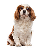 Front view of a Cavalier King Charles Spaniel sitting, looking a