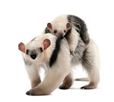 Tamandua, Tamandua tetradactyla mother, 3 years old, and child,