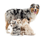 Mother Australian shepherd with three puppies, 6 weeks old, two are suckling and on is portrait against white background