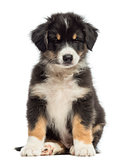 Australian Shepherd puppy, 2 months old, sitting against white background