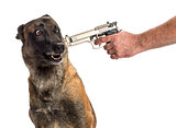 Gun pointed at a scared Belgian Shepherd's head against white background