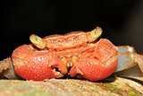 Rainforest Canopy Crab