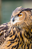 Eurasian Eagle Owl Head Shot