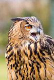 Eurasian Eagle Owl Head Shot