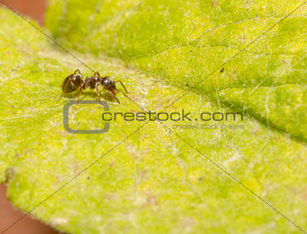 Ant on Green Leaf