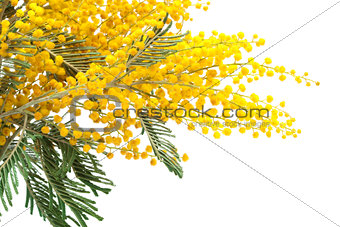 branch of a mimosa