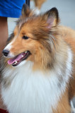 Close up photography of pretty collie dog