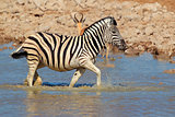 Plains Zebra in water