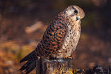 Kestrel sitting on stump