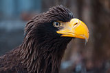 Portrait of a black eagle