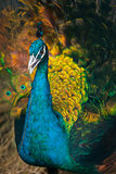 Peacock with a straw in its beak