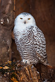 White owl sitting on stump