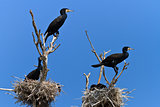 cormorants (phalacrocorax carbo ) on nest