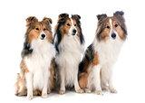 shetland dogs