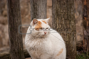 White rural tomcat