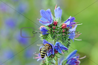 A bee on a blueweed