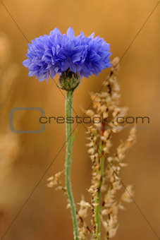 A blue cornflower.