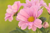 Flowering pink chrysanthemums
