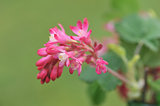 Red-flowering currant on green background