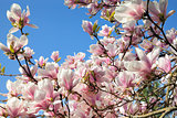 Deciduous Magnolia Tree Flowers
