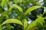 Tea Crop