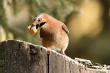 eurasian jay eating bread