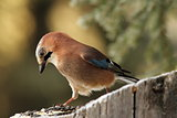 european jay looking at seeds