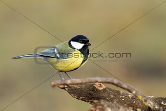 great tit over blurred background